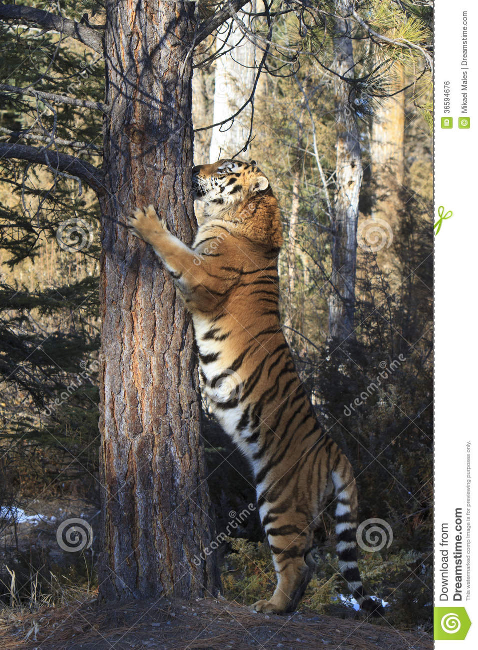 size of the siberian tiger Commonly the siberian tiger is referred to as the largest of all cats however, past measurements of this cat where based on hunter estimates and can not be varified.