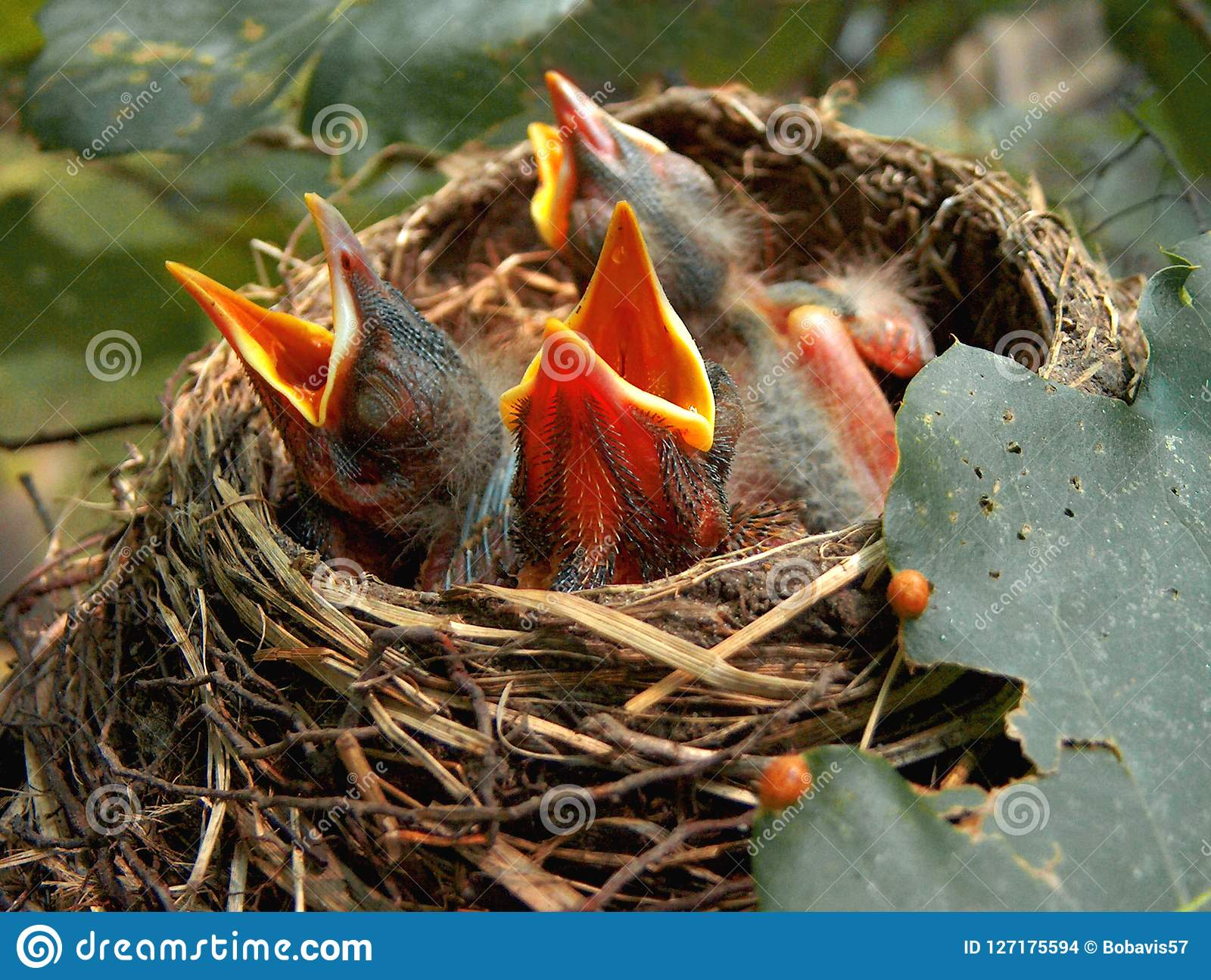 Screaming For Food From The Nest