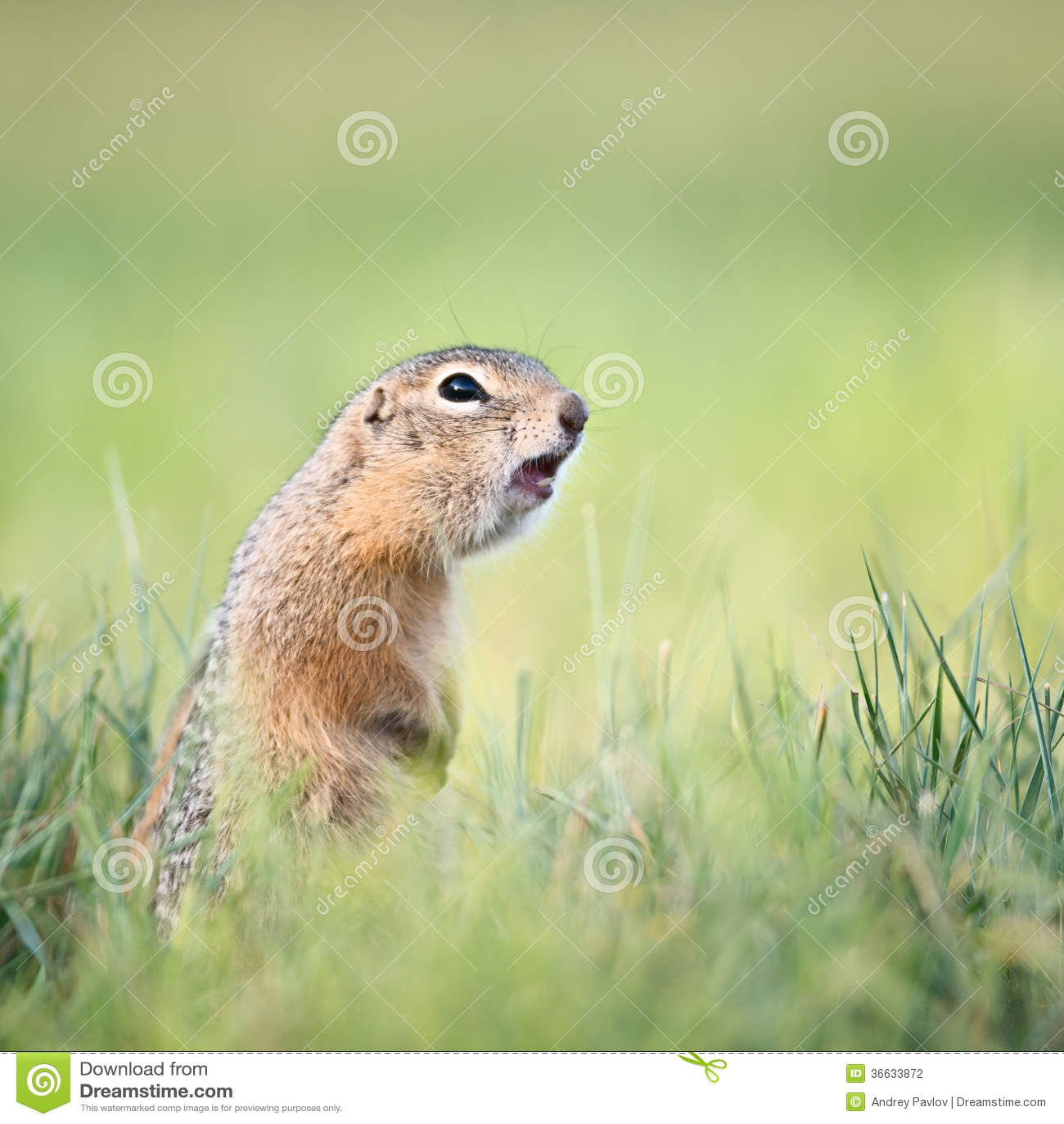 prairie dog screaming