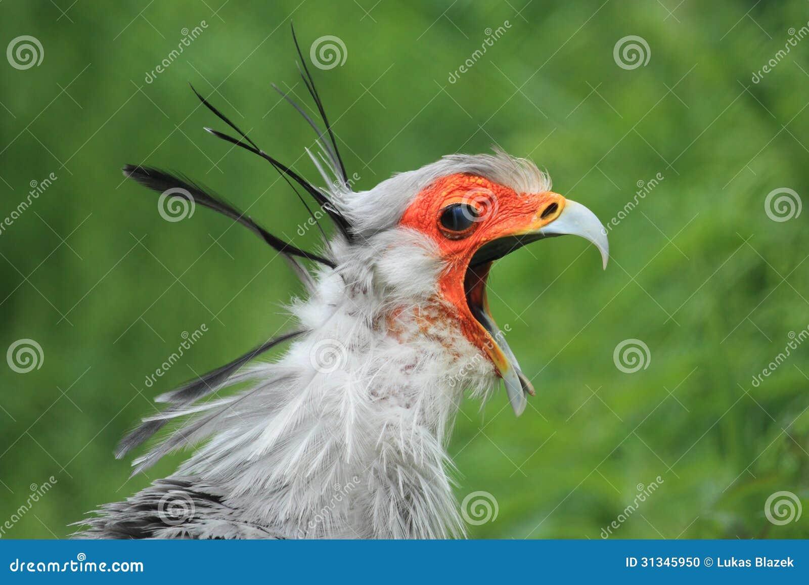 Screaming Secretary Bird Stock Photo - Image: 31345950