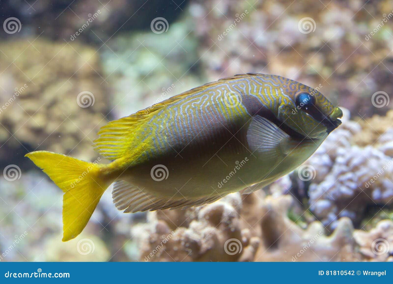 Scribbled doliatus Siganus rabbitfish