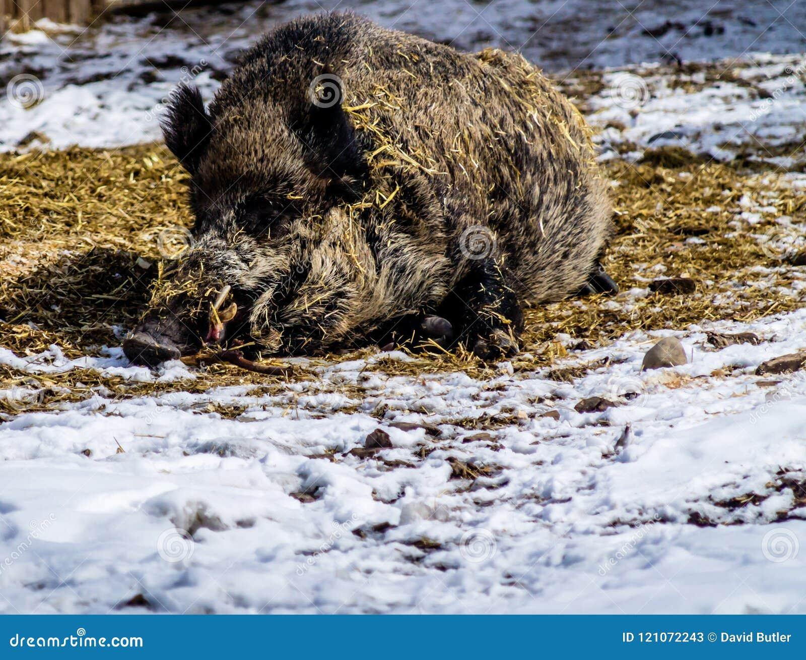 Scrofa eurasien de Sus de sanglier s étendant en foin et jouant avec t