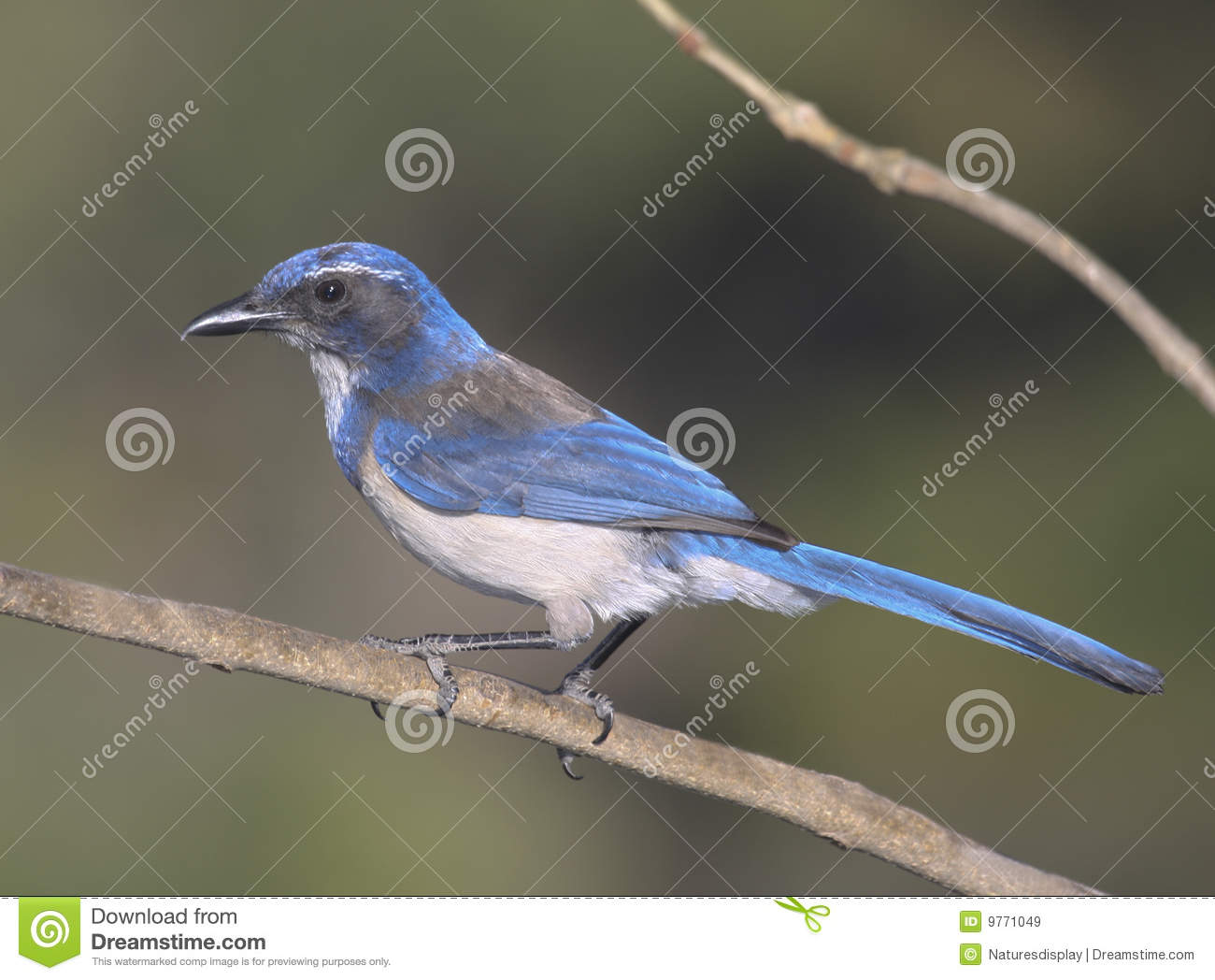 Download Scrub Jay stock image. Image of blue, profile, nature - 9771049