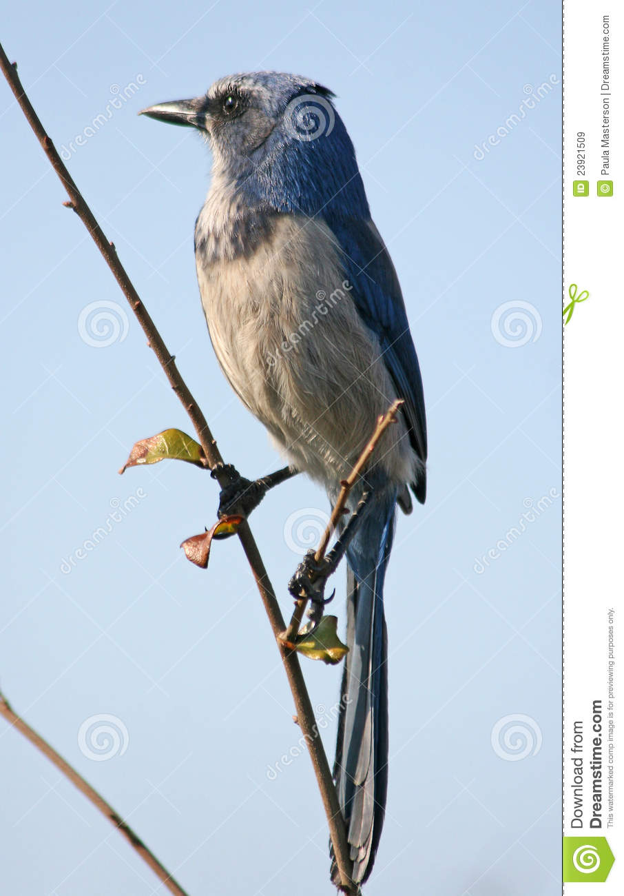 Download Scrub jay bird stock image. Image of beak, perched, avian - 23921509