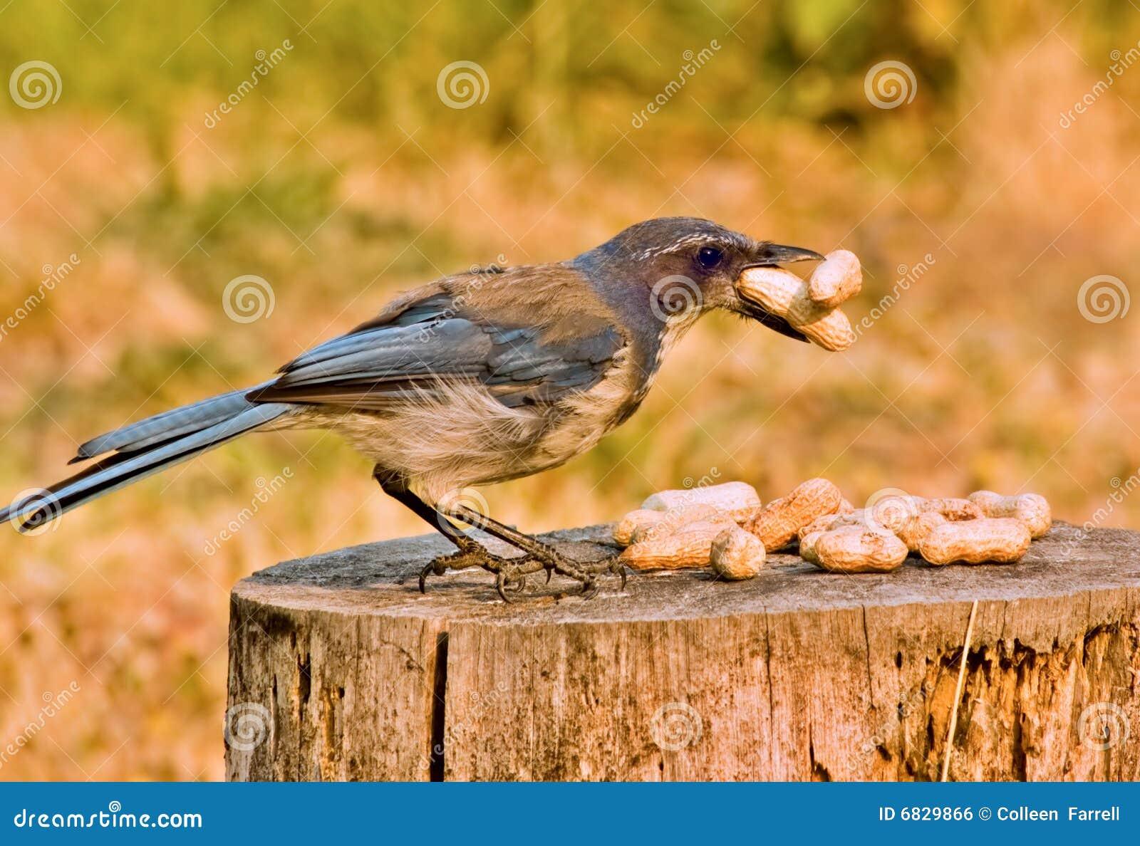 Scrub Jay with peanuts
