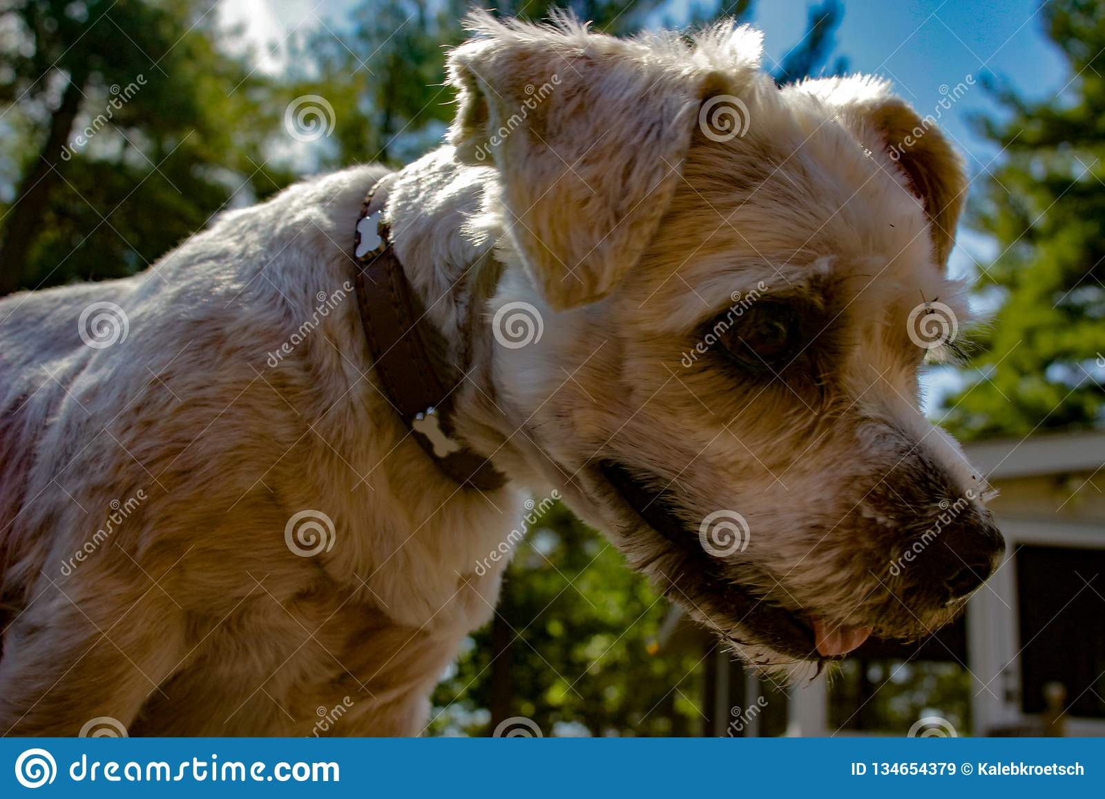 A scruffy Shih Tzu mixed breed dog outdoors