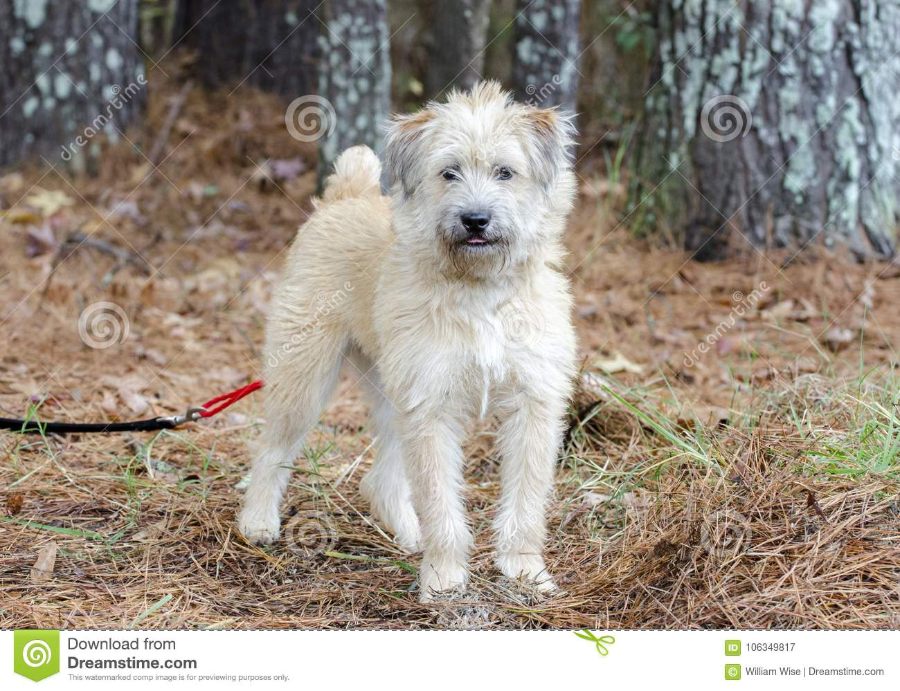 Soft Coated Wheaten Terrier Mixed Breed Dog Stock Image Image Of Canine Mixed 106349817