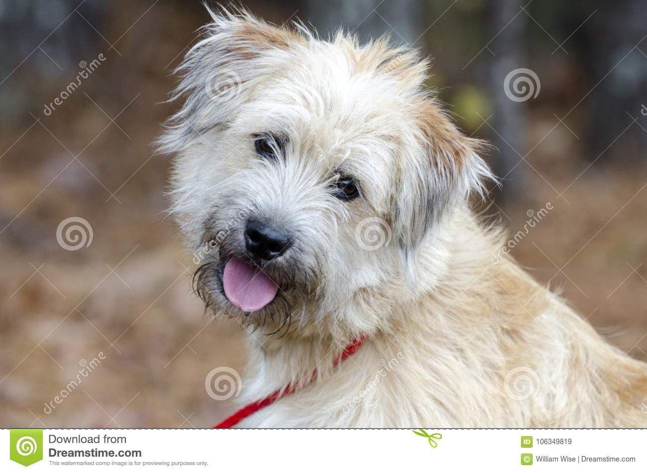Soft Coated Wheaten Terrier Mixed Breed Dog Stock Image Image Of Shepherd Georgia 106349819