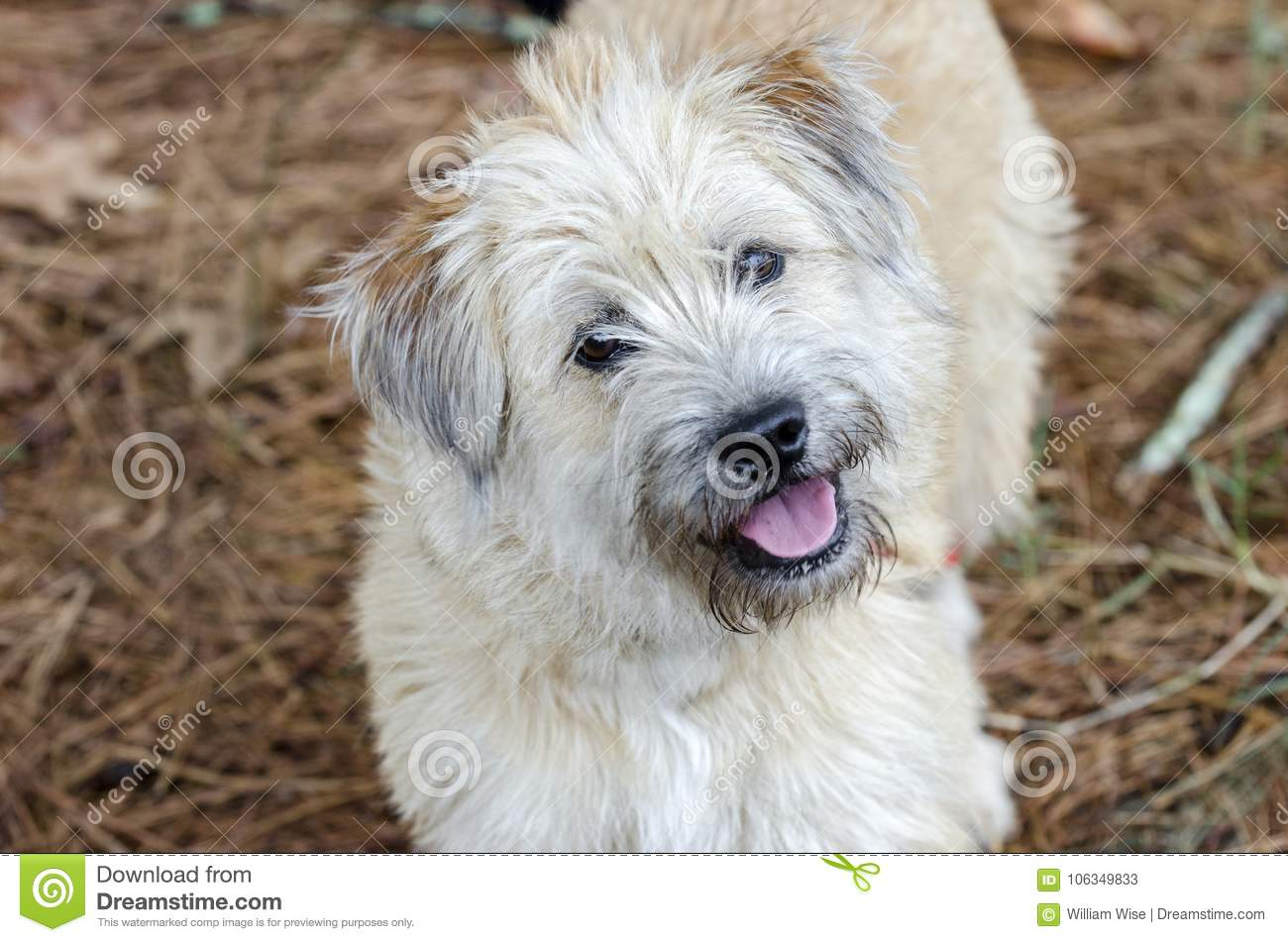 Soft Coated Wheaten Terrier Mixed Breed Dog Stock Image Image Of German Stock 106349833