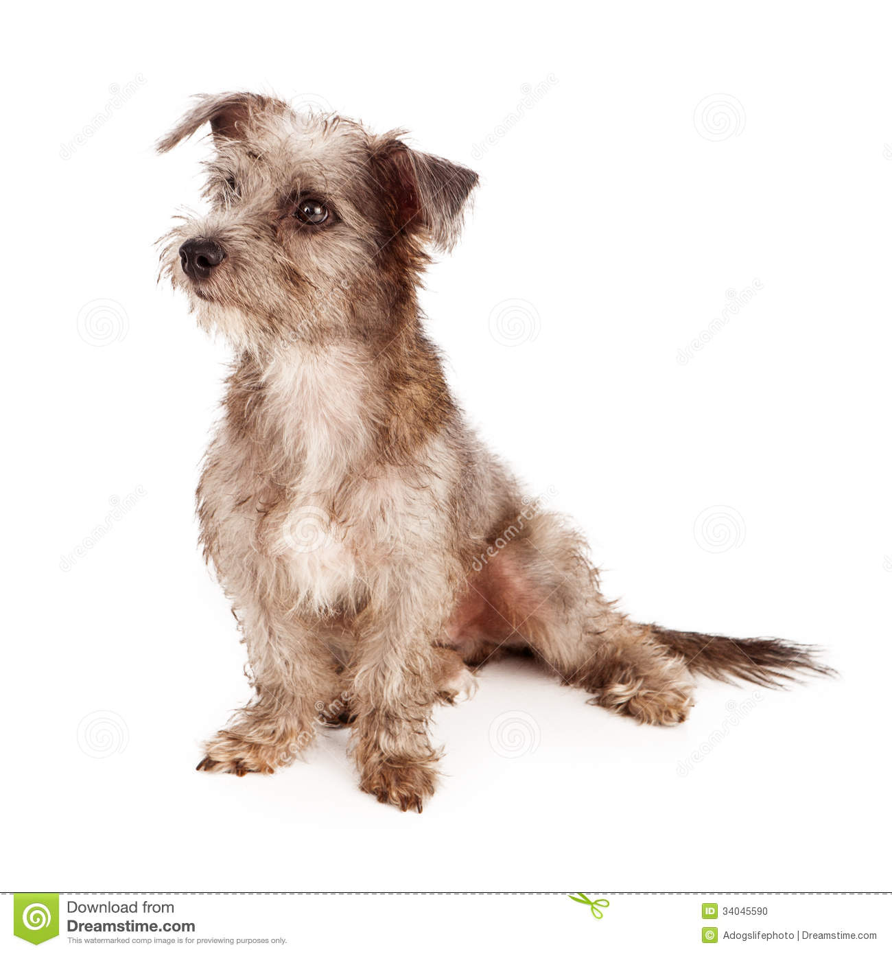 White Scruffy Terriers | Dog Breeds Picture