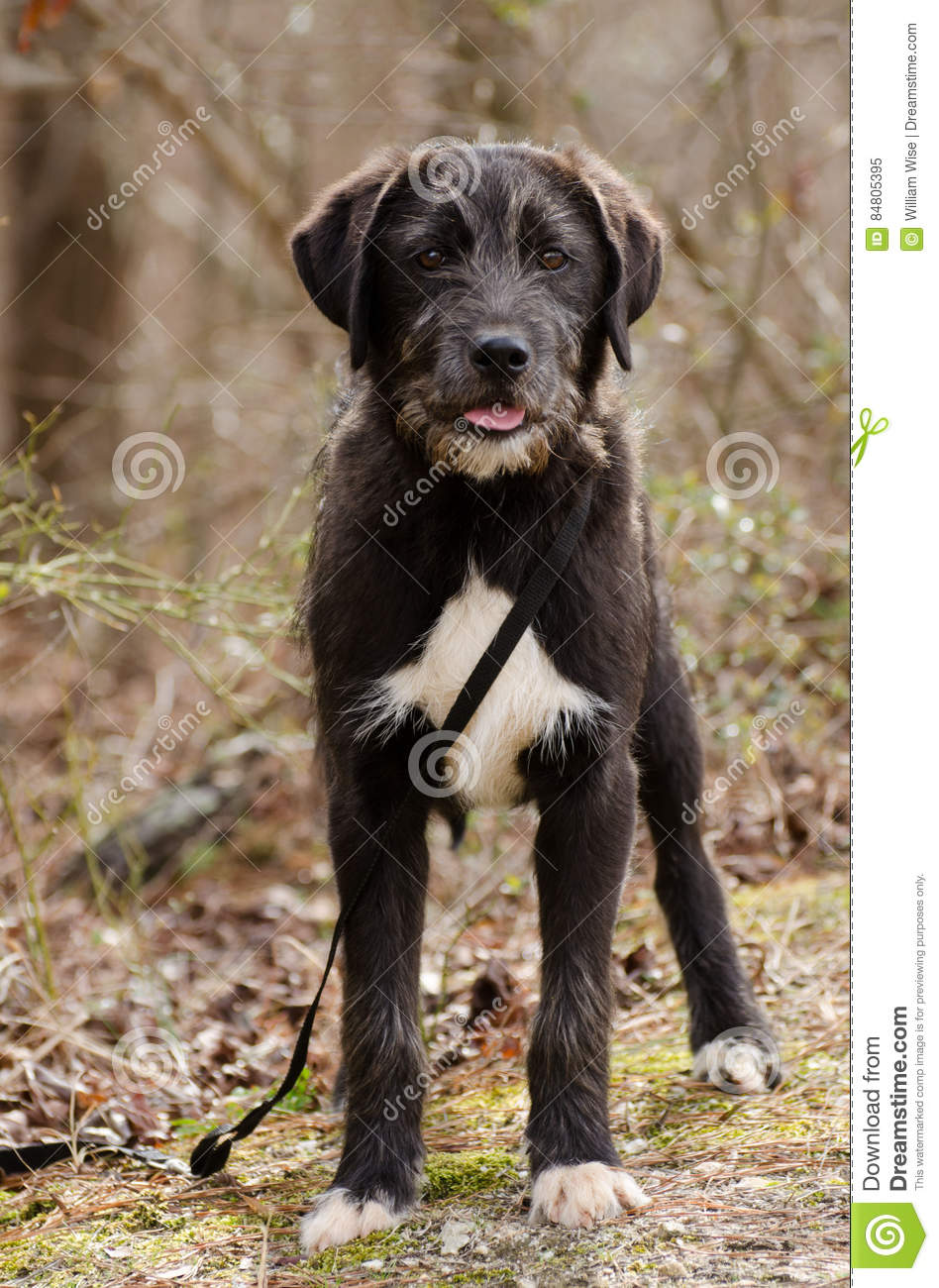 Scruffy Wirehaired Terrier Mixed Breed Dog Stock Image Image Of