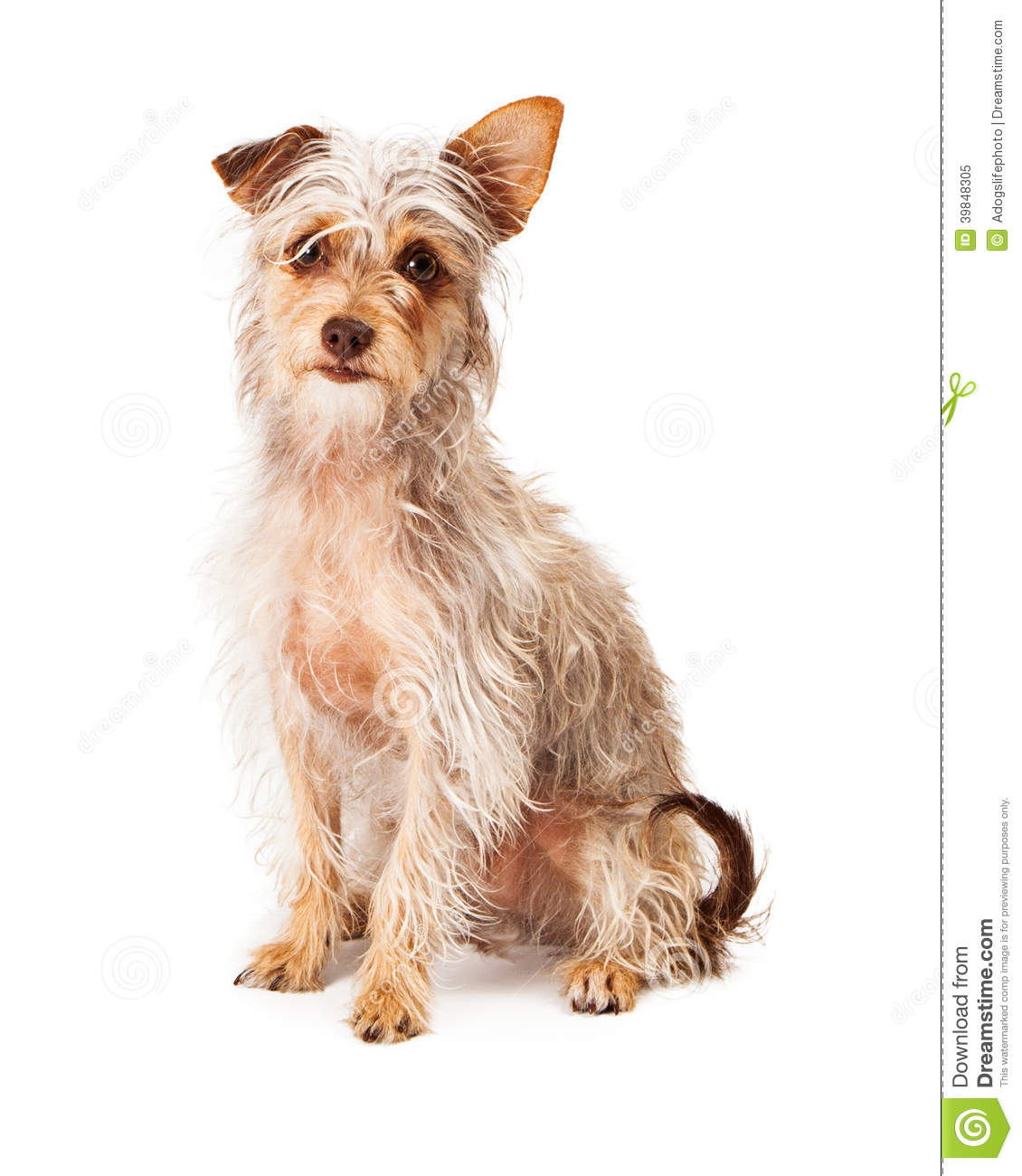 Scrufy Terrier Crossbreed Sitting Stock Image - Image of breed ...