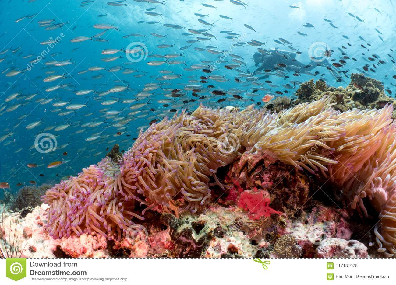 Scuba diver behind beautiful coral reef and anemone