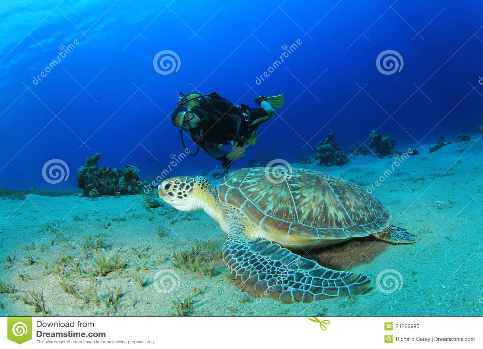 Scuba Diver and Green Turtle