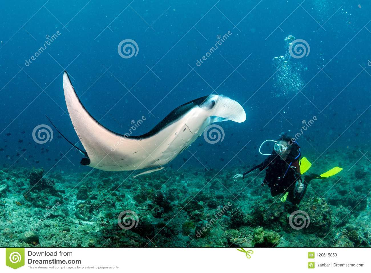Scuba diver and Manta in the blue ocean background portrait