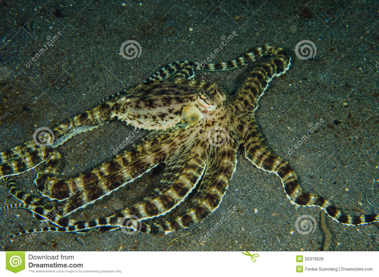 Scuba Diving Octopus Lembeh Strait Indonesia Underwater Stock ...