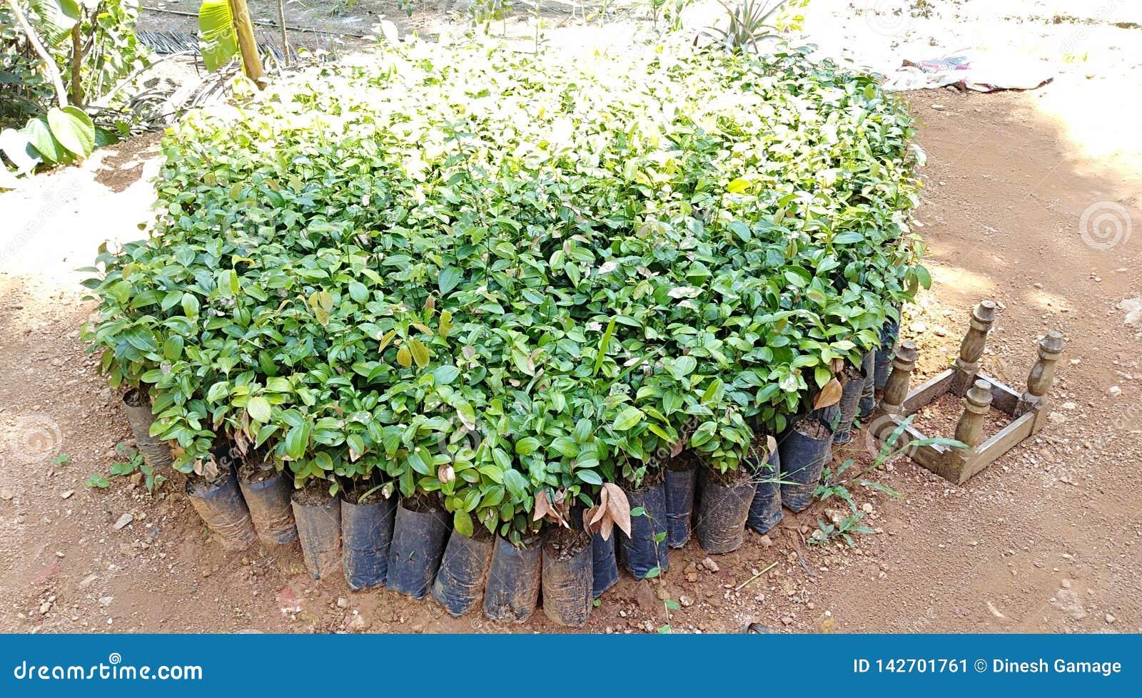 Scuola materna della pianta della cannella con le piante del bambino