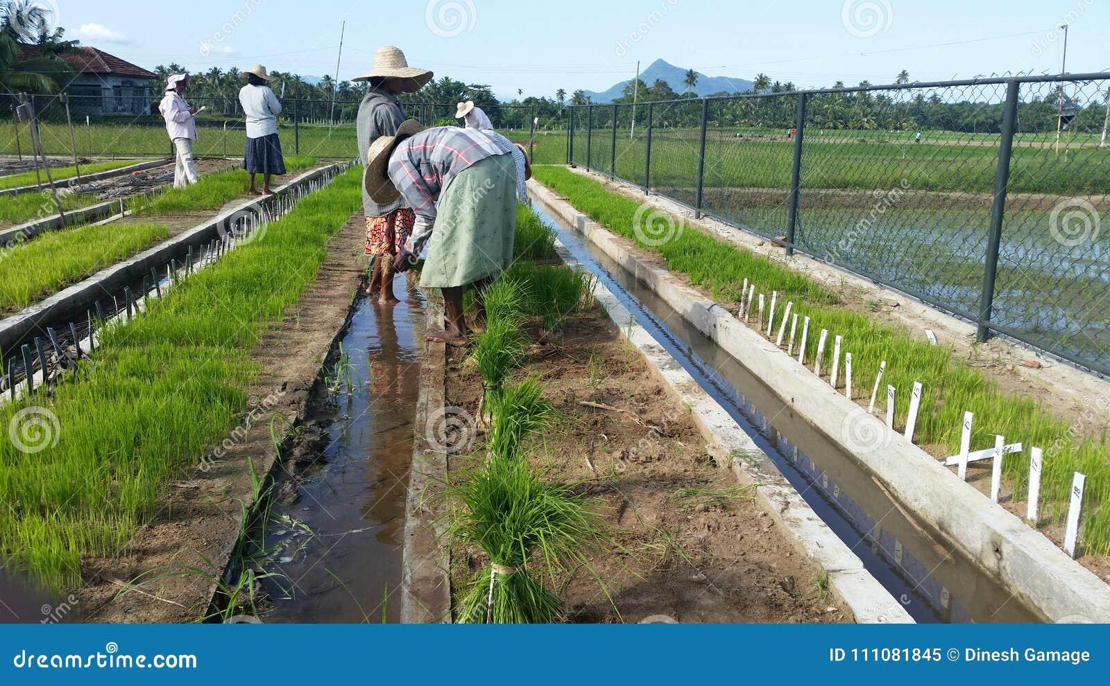 Scuola materna della pianta di riso in Sri Lanka