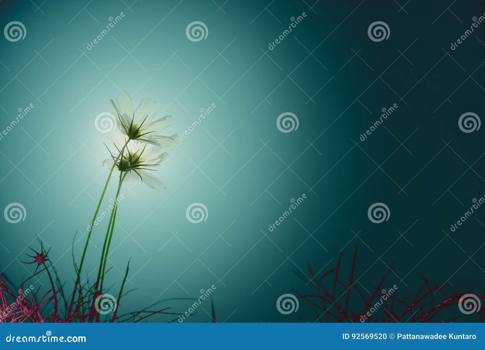 Scuro del fuoco molle in universo bianco fiorisce il cosmos bipinnatus