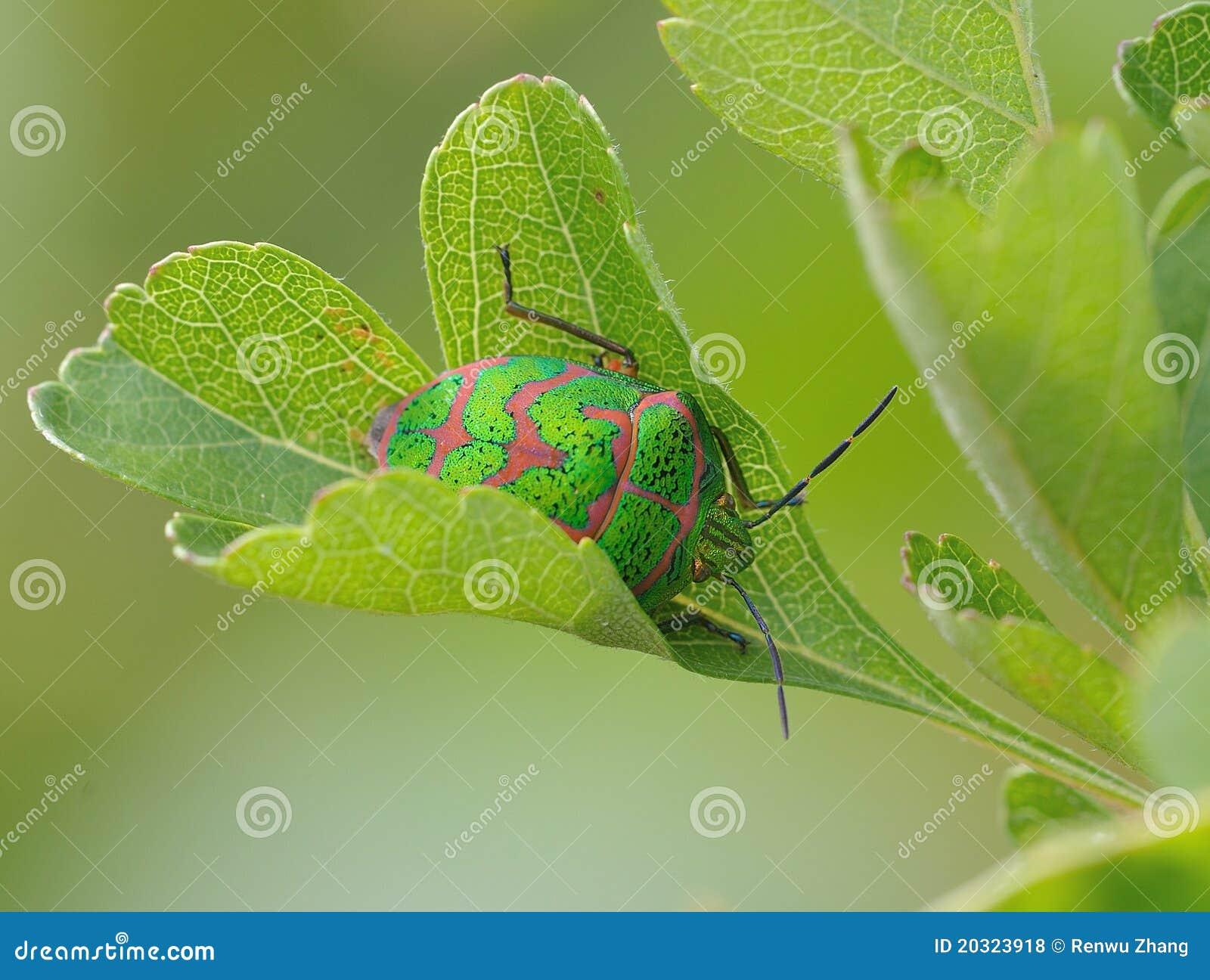 Scutelleridae Royalty Free Stock Photos - Image: 20323918