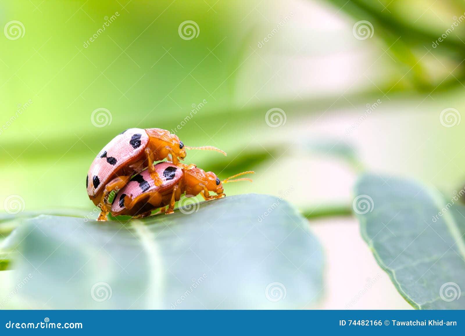 Señora convergente Beetles que se acopla en una hoja verde con el copyspace