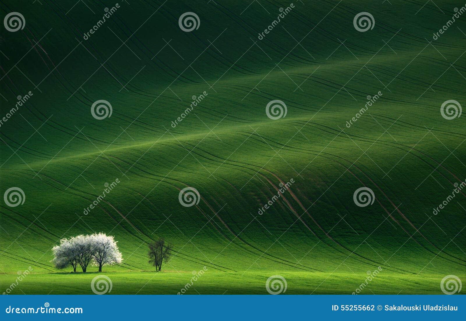 Señoras en blanco Árboles florecientes de la primavera blanca en un fondo de una colina verde, que es destacada por el sol ponien