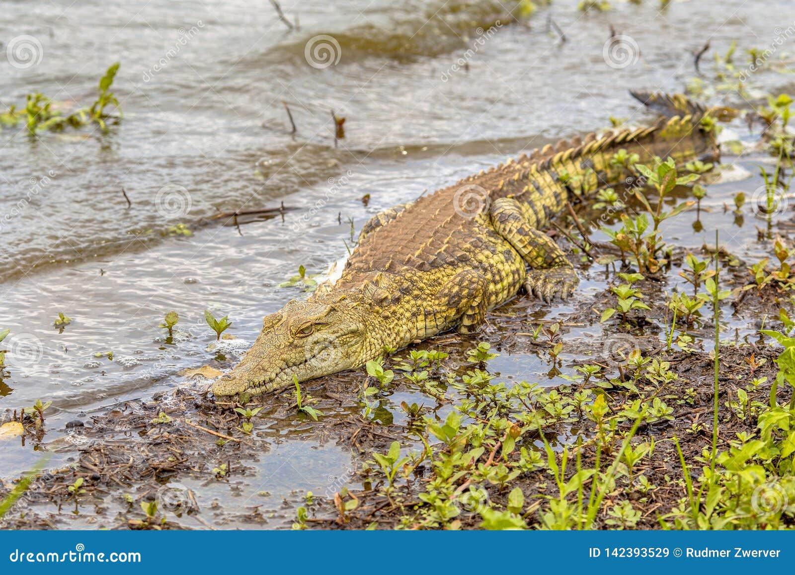 Se dorer de crocodile du Nil