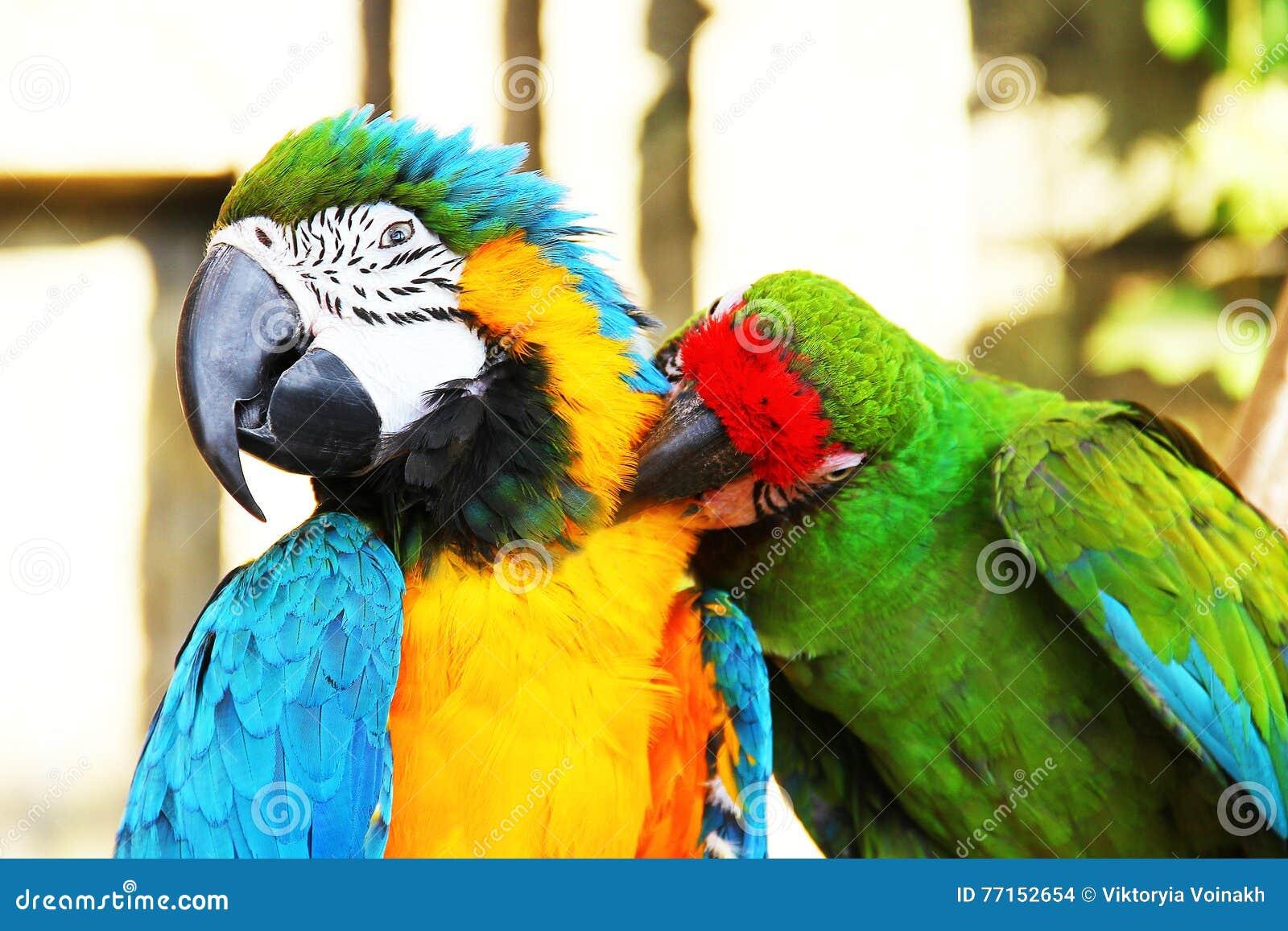 Se reposer coloré de perroquets de couples