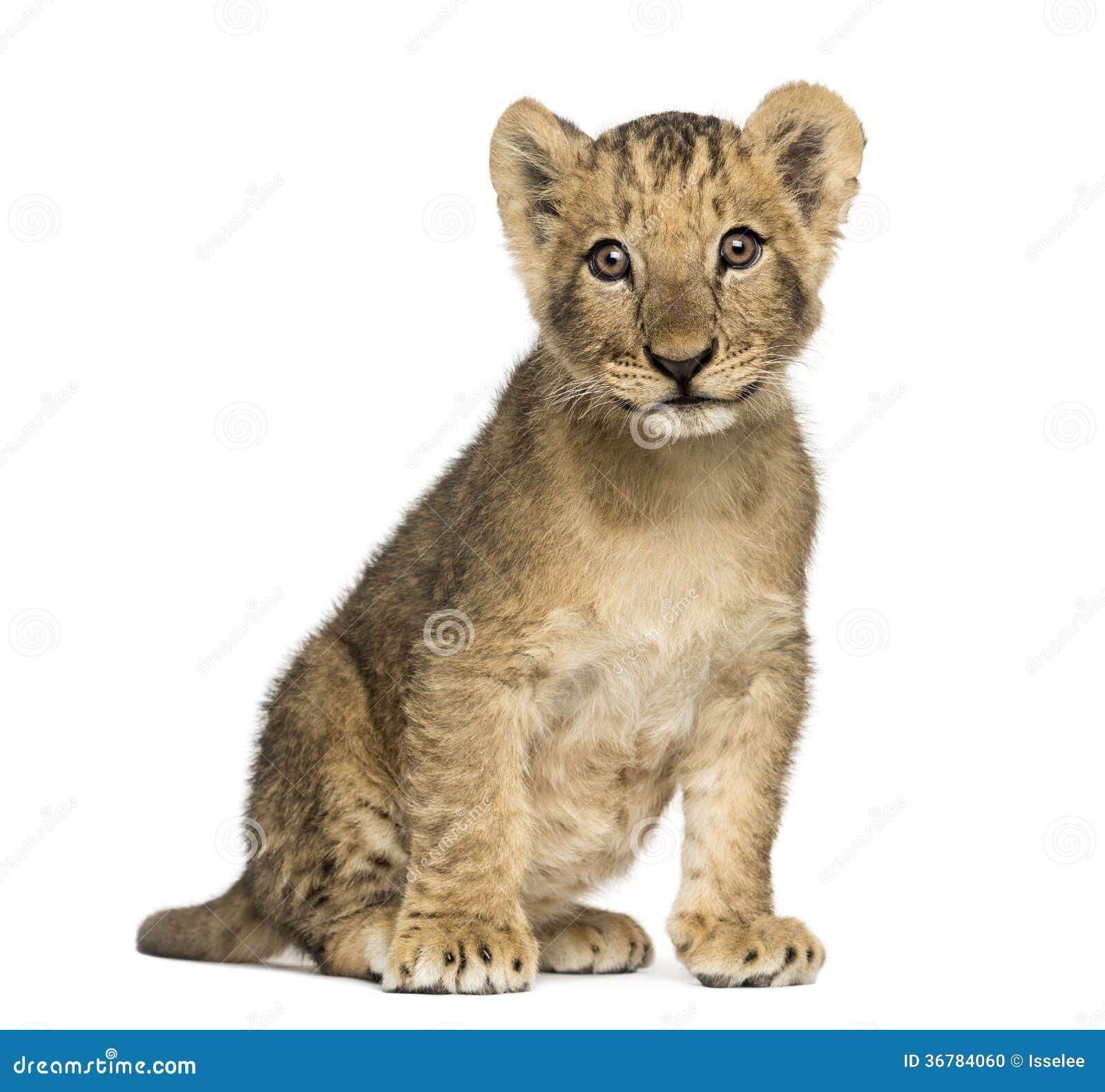 Se reposer de petit animal de lion vieux, regardant l appareil-photo, 10 semaines, d isolement