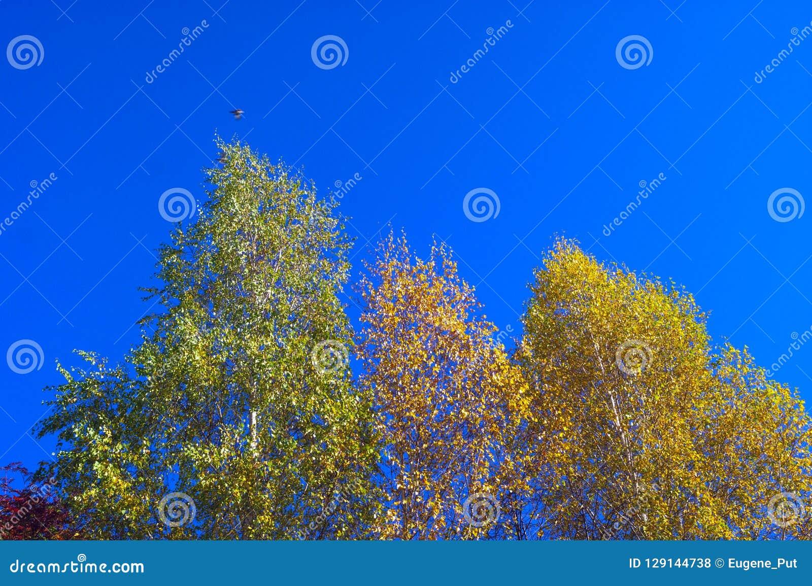 Se upp blasten för björkträd mot blå himmel på en Sunny Fall Day En fågel som över flyger