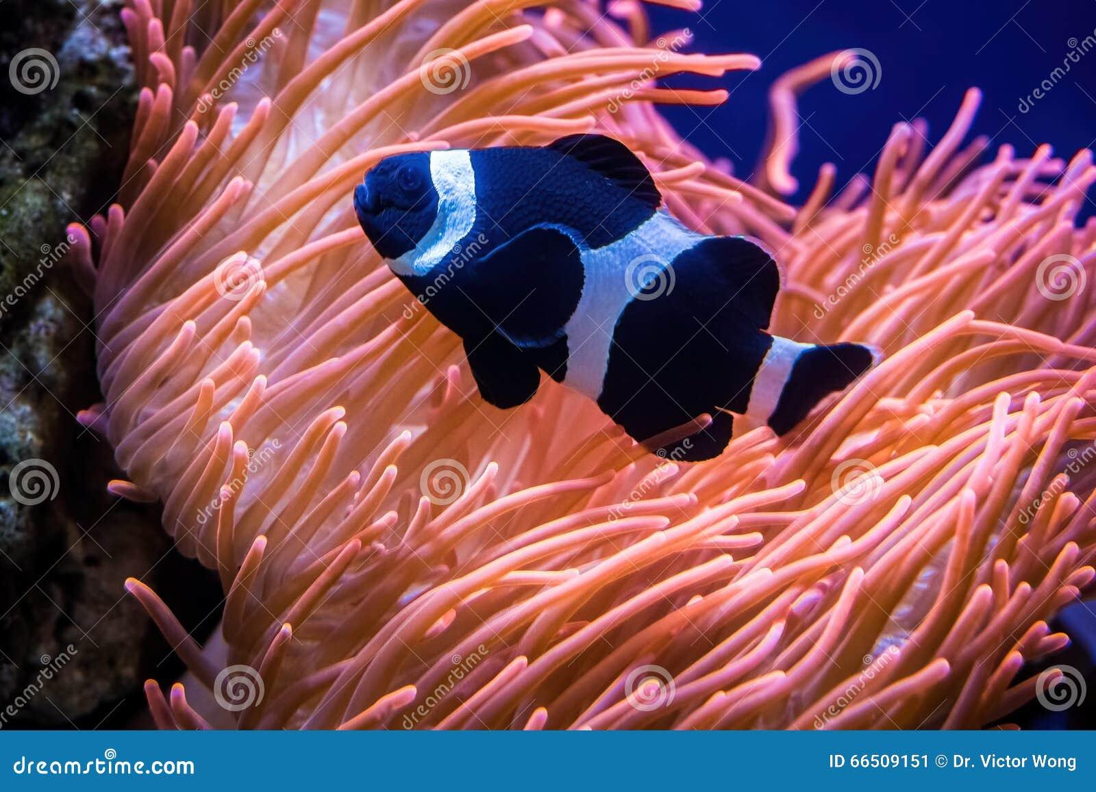 Sea Anemone And Black Clown Fish Stock Image - Image of clownfish ...