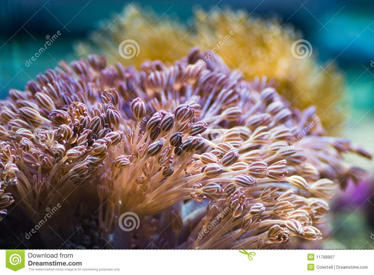Sea Anemones Stock Image Of Color Mouth Flower