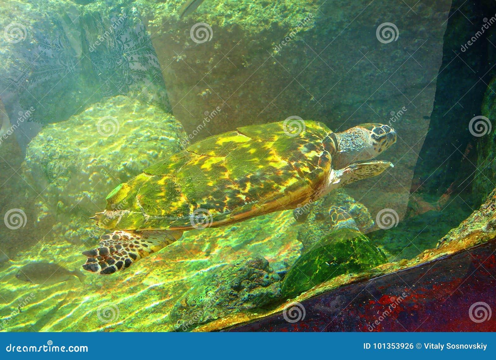 Sea turtle in the aquarium of Eilat. Israel