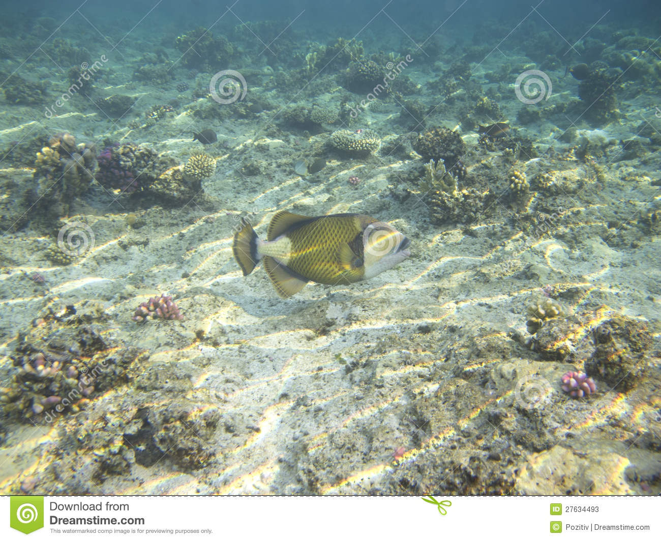 Sea bass stock photos image 27634493 for Red sea fish