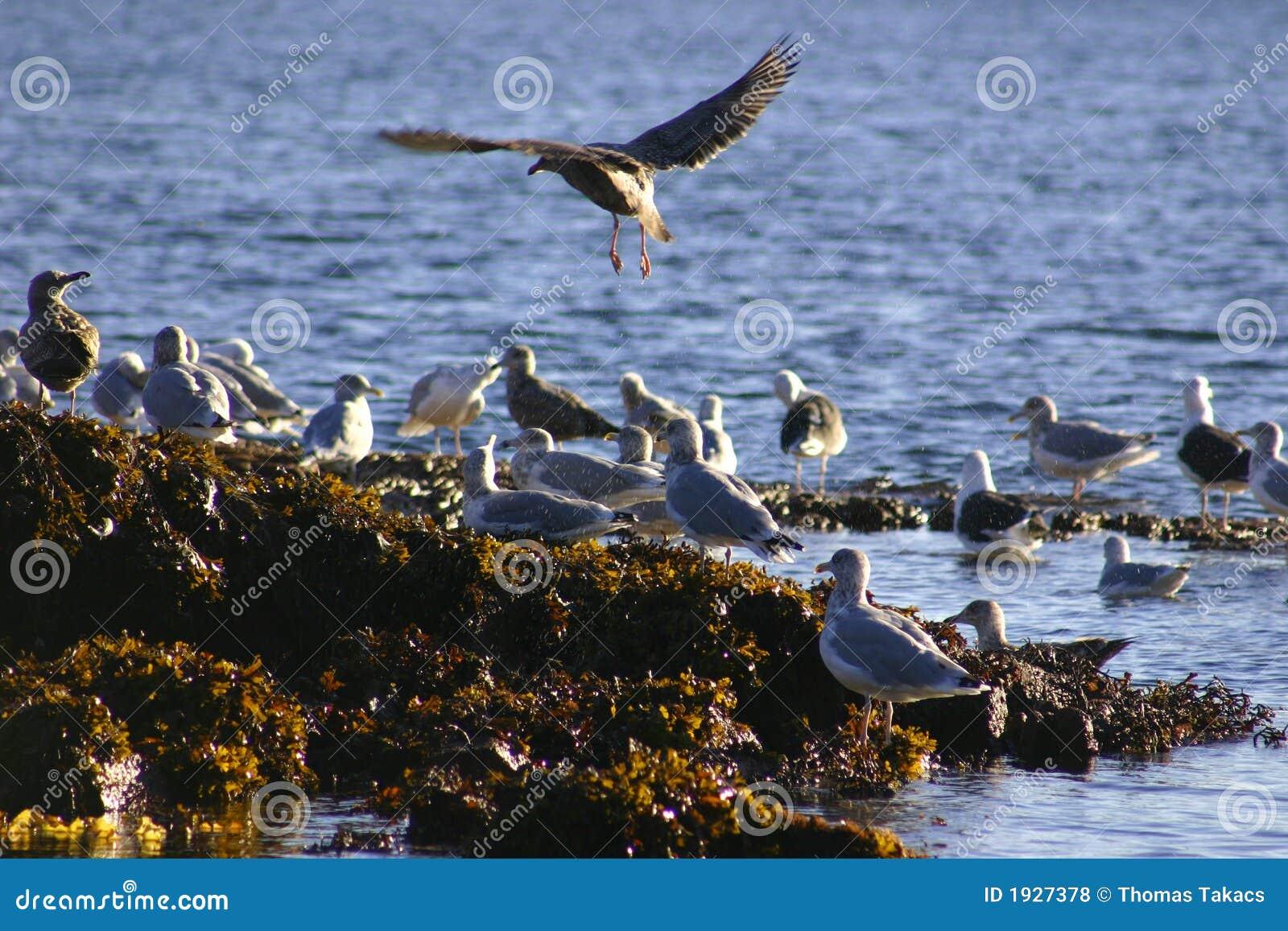 Sea Bird - Coming In For Landing