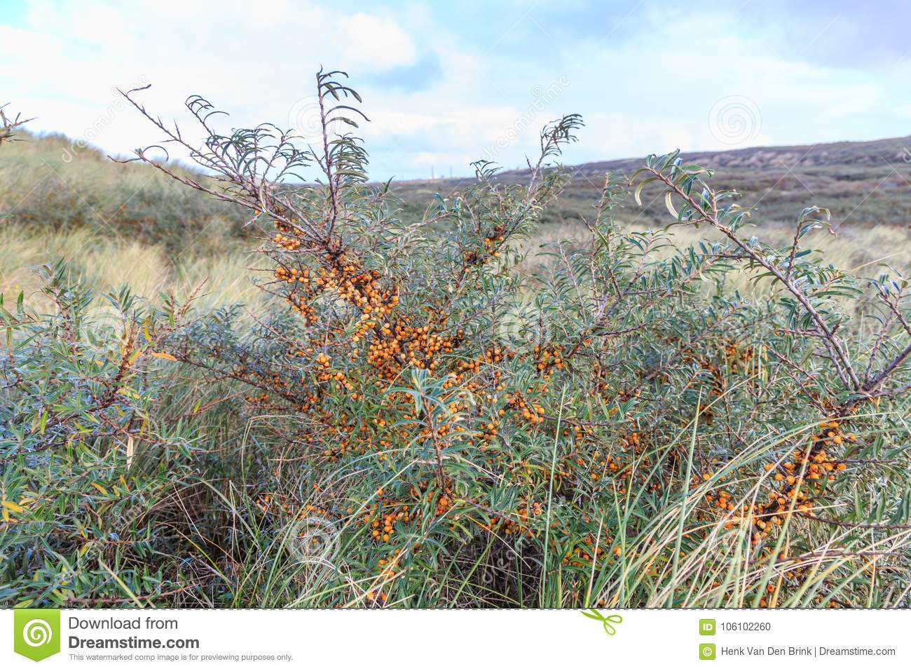 Sea Buckthorn Hippophae Rhamnoides Is A Common Berry Bearing