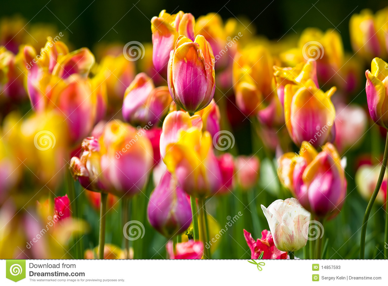 Sea of colorful tulips