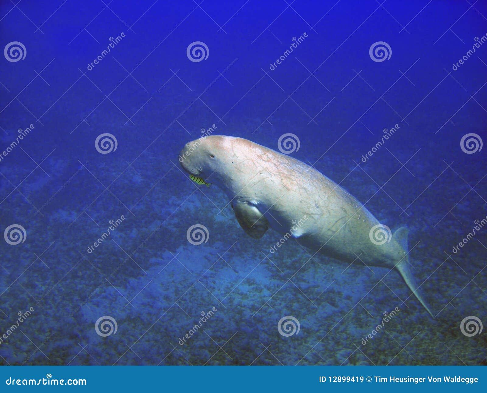 Sea cow (Dugong dugong)