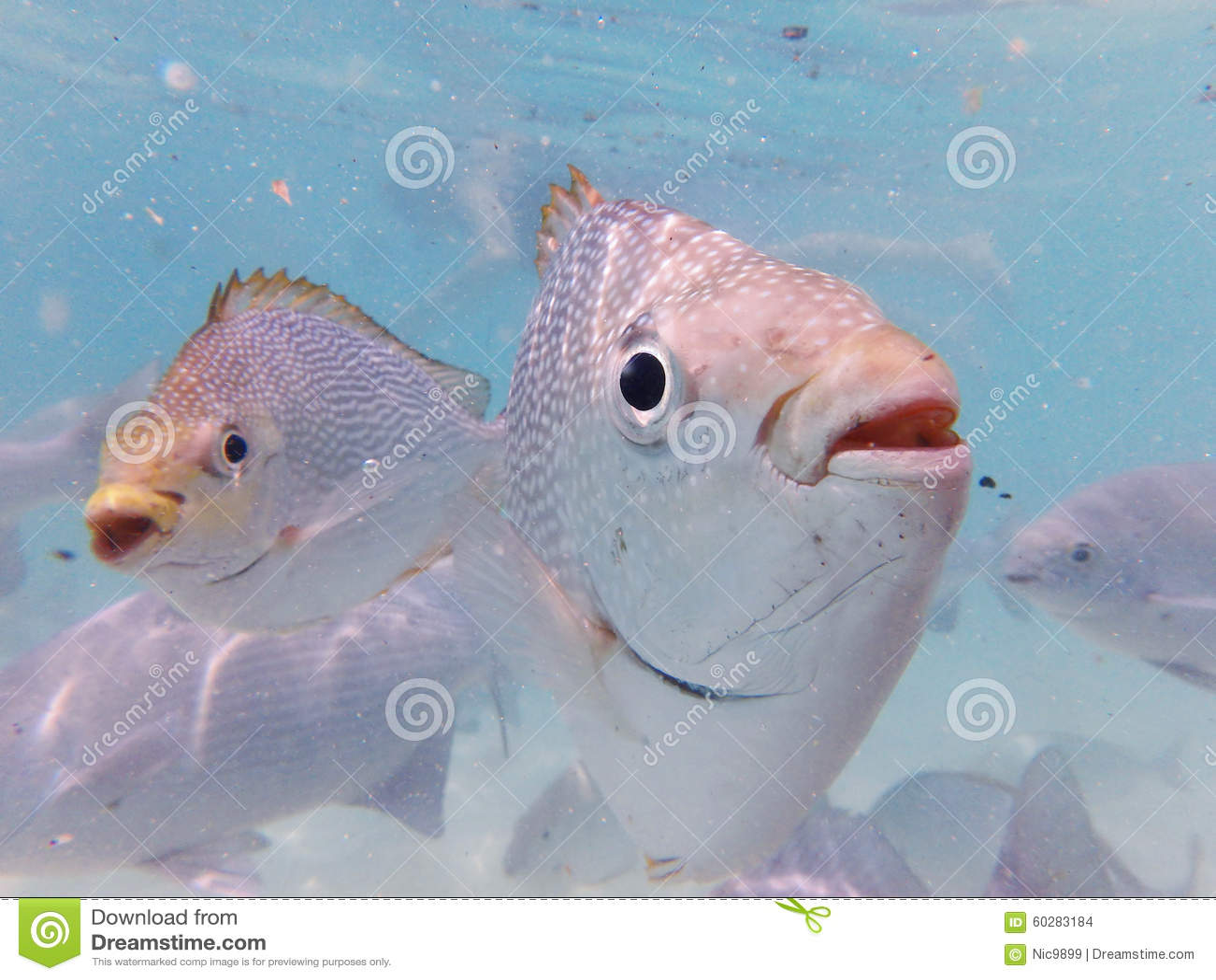 Native Fish Of Malaysia