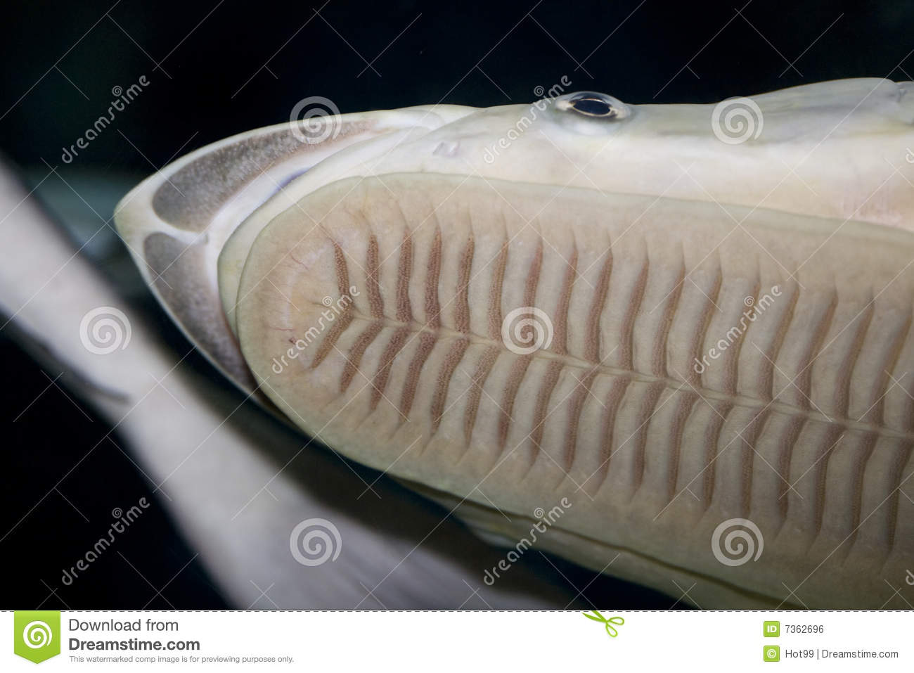 Sea fish sucker royalty free stock image image 7362696 for Aquarium sucker fish