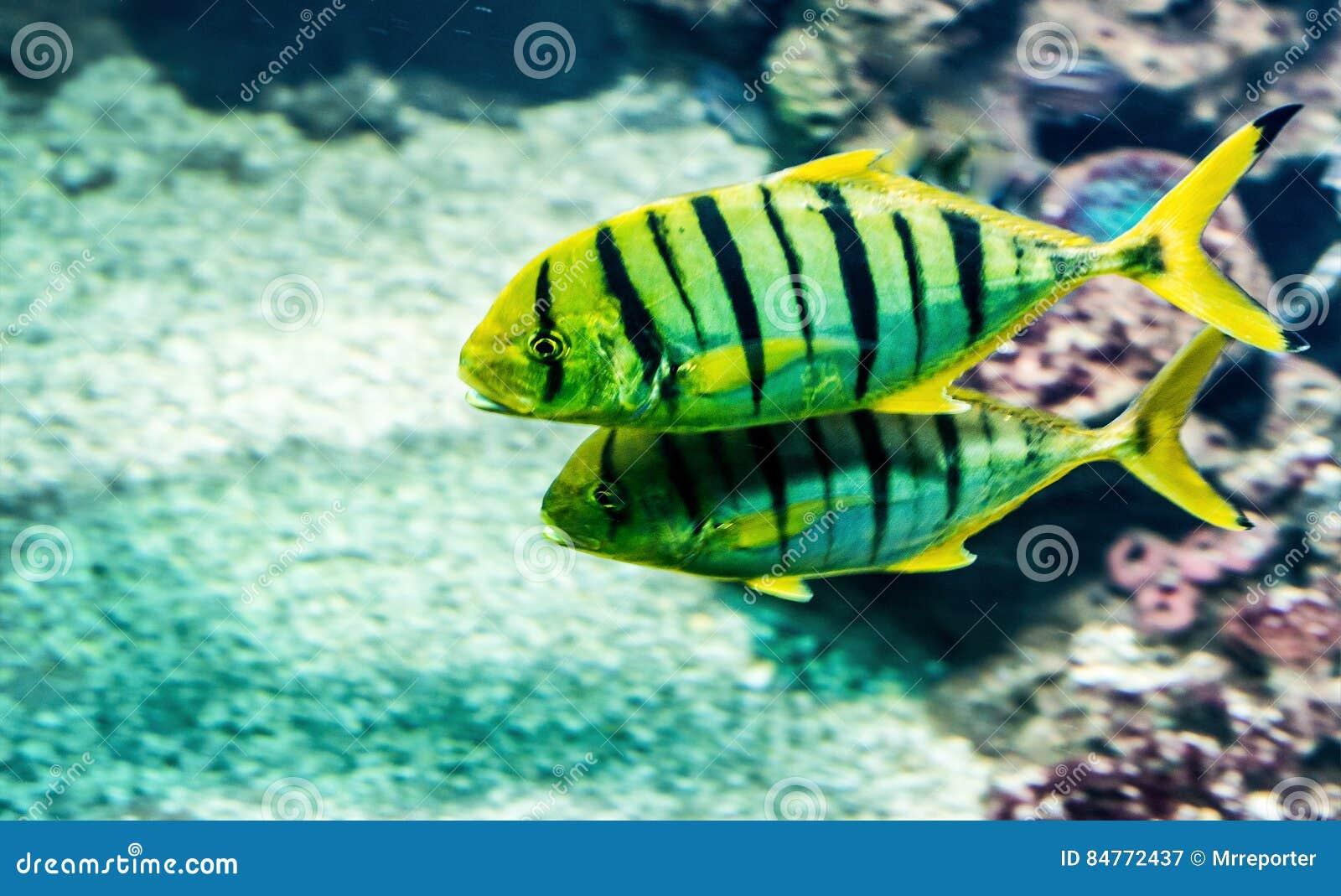 Goggle Eye Mackerel Live Bait Fish Hook Tackle Stock Image ...