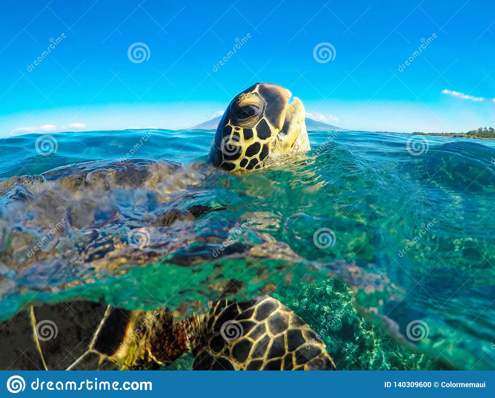 Green Sea Turtle Popping Head Up