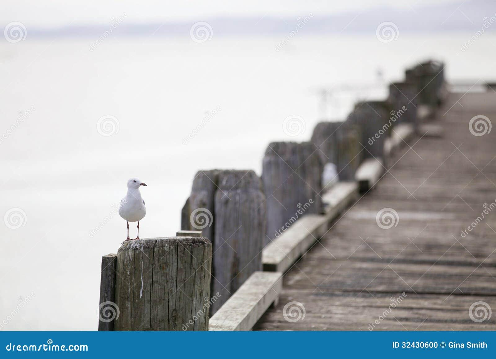 Sea gull.