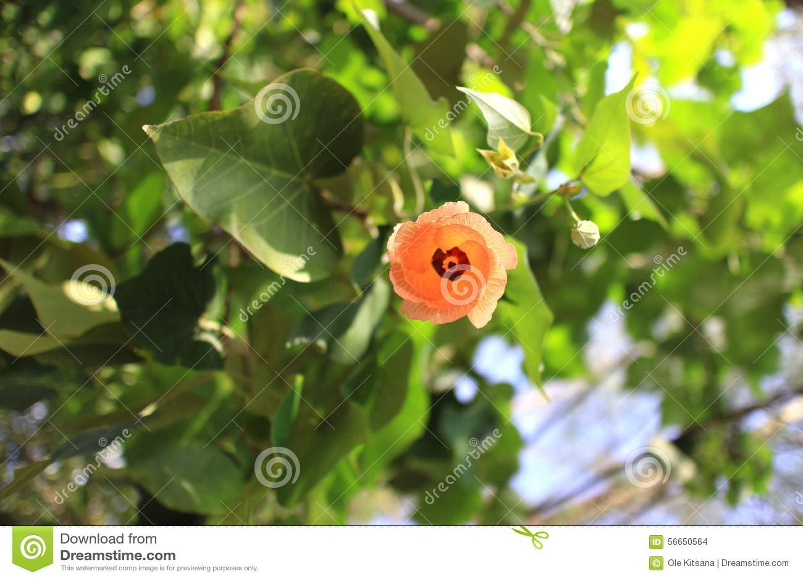 Sea Hibiscus Stock Photo Image Of Coastal World Cottonwood 56650564