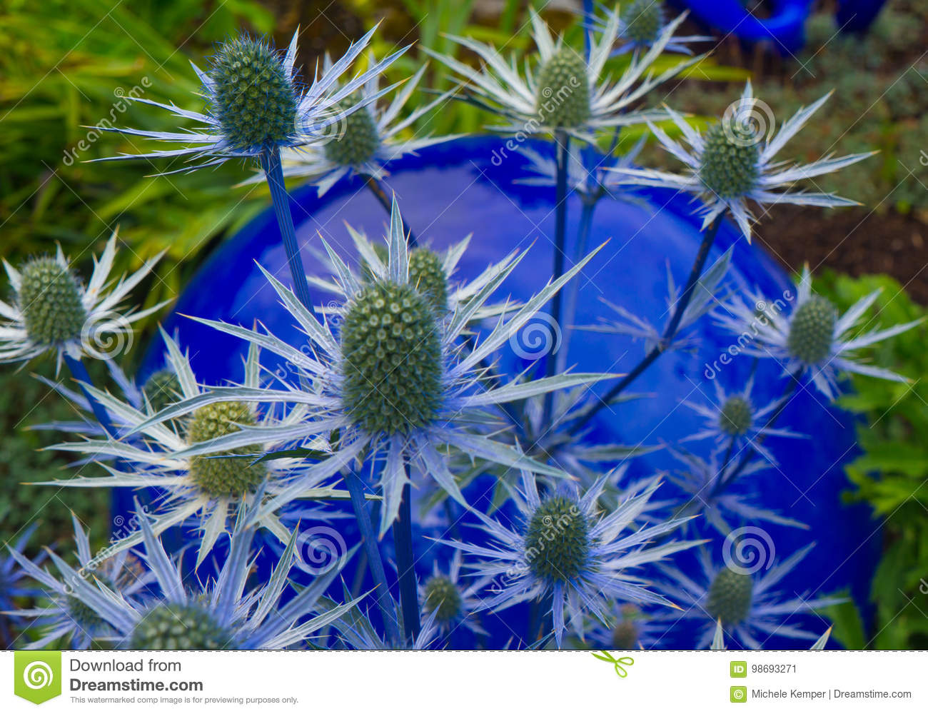 Blue Thistle Flower Stock Image Image Of Holly Blooming 98693271