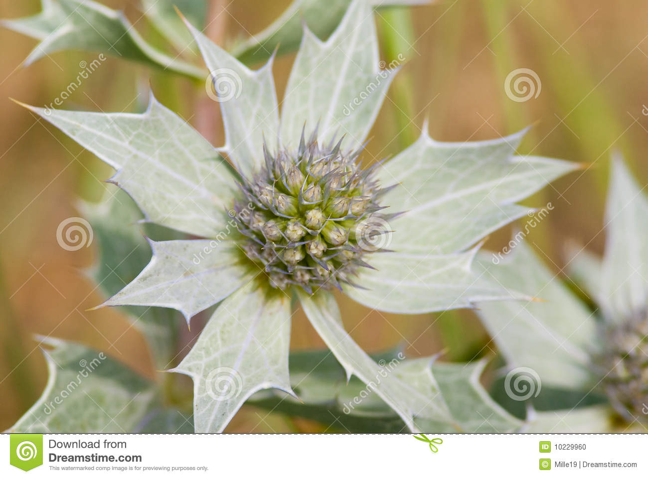 Sea Holly Flower Stock Image