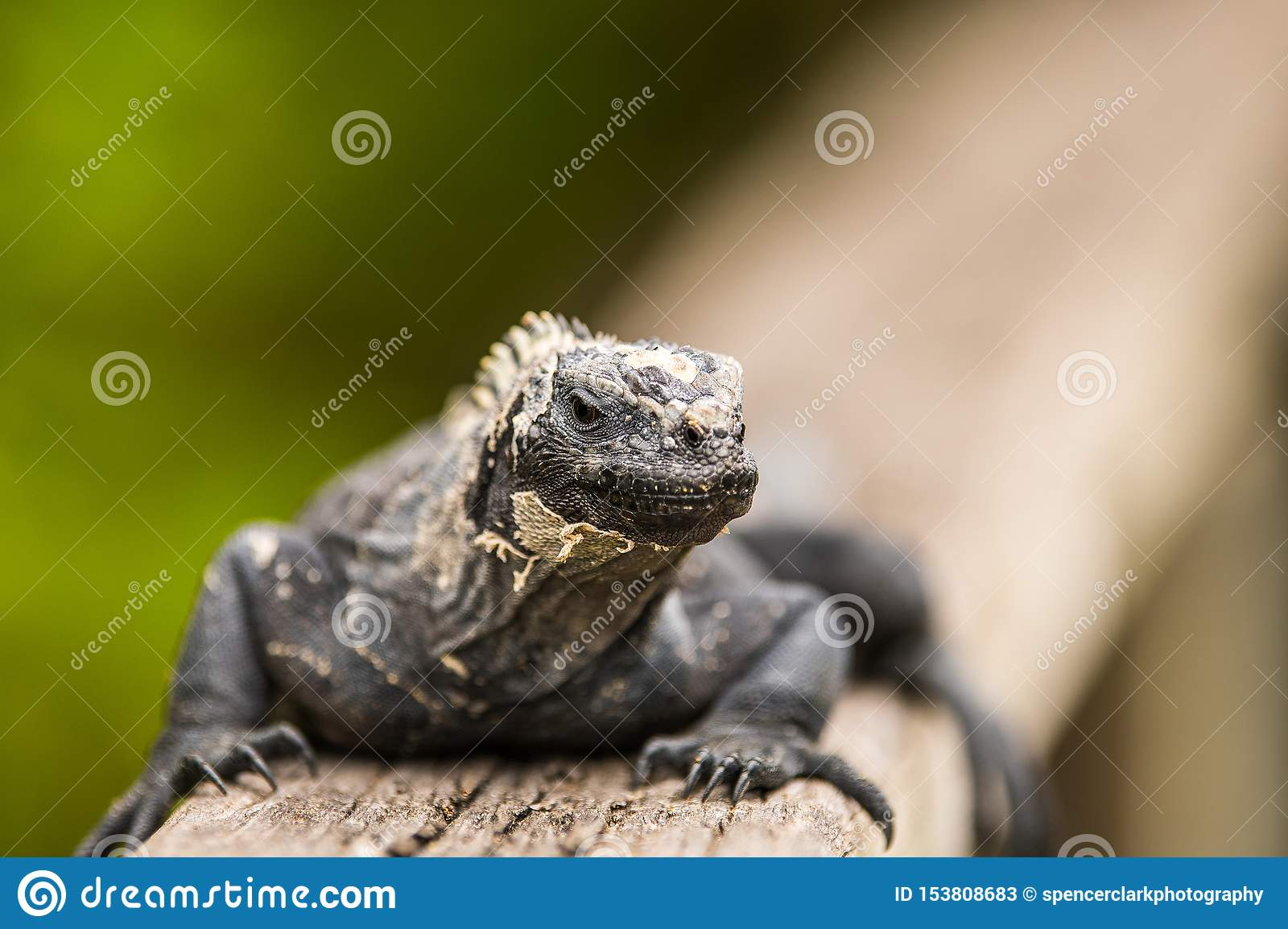 Sea Iguana Only In Galapagos Stock Image Image Of Endemic