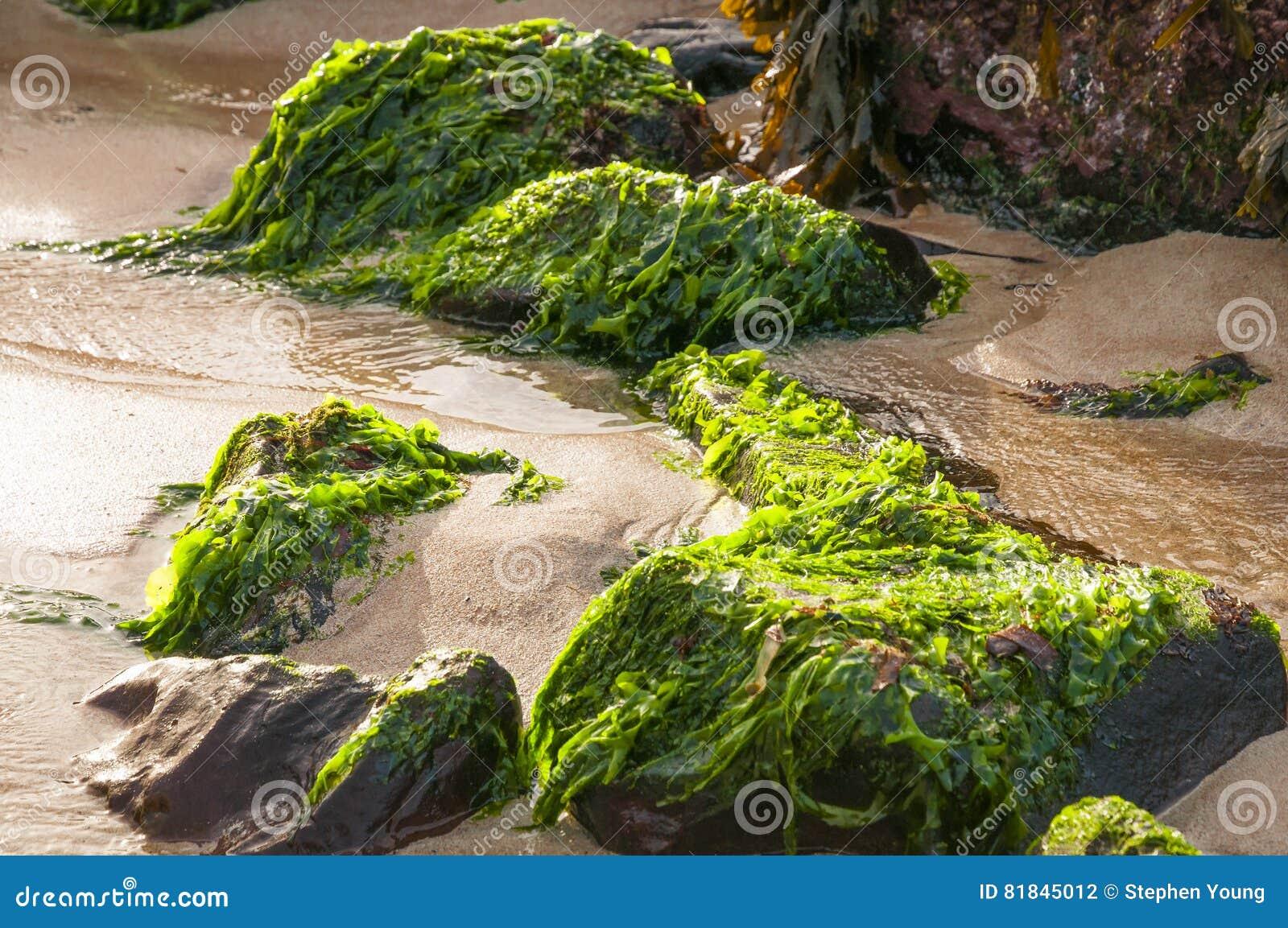 Sea Lettuce