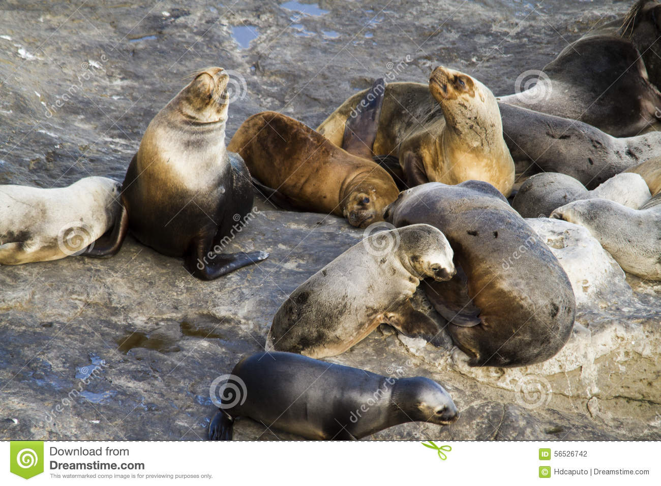 Sea lion colony in south america