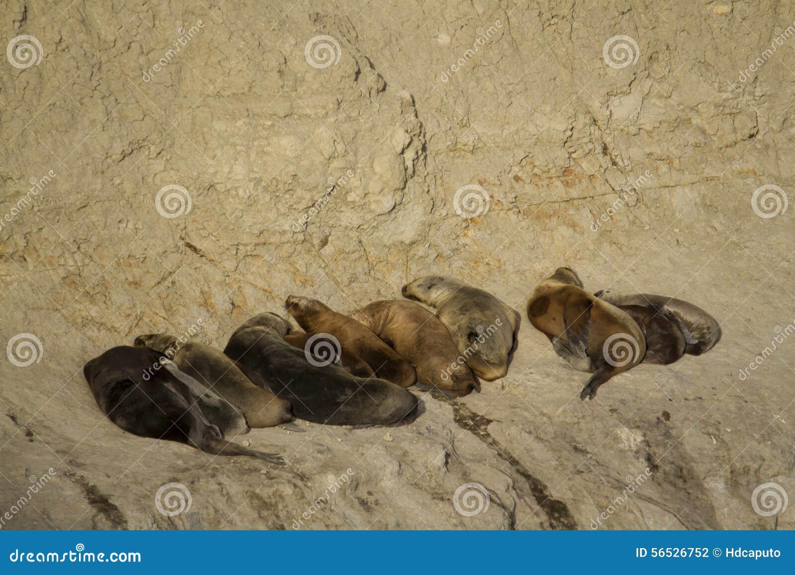 Sea lion colony in south america